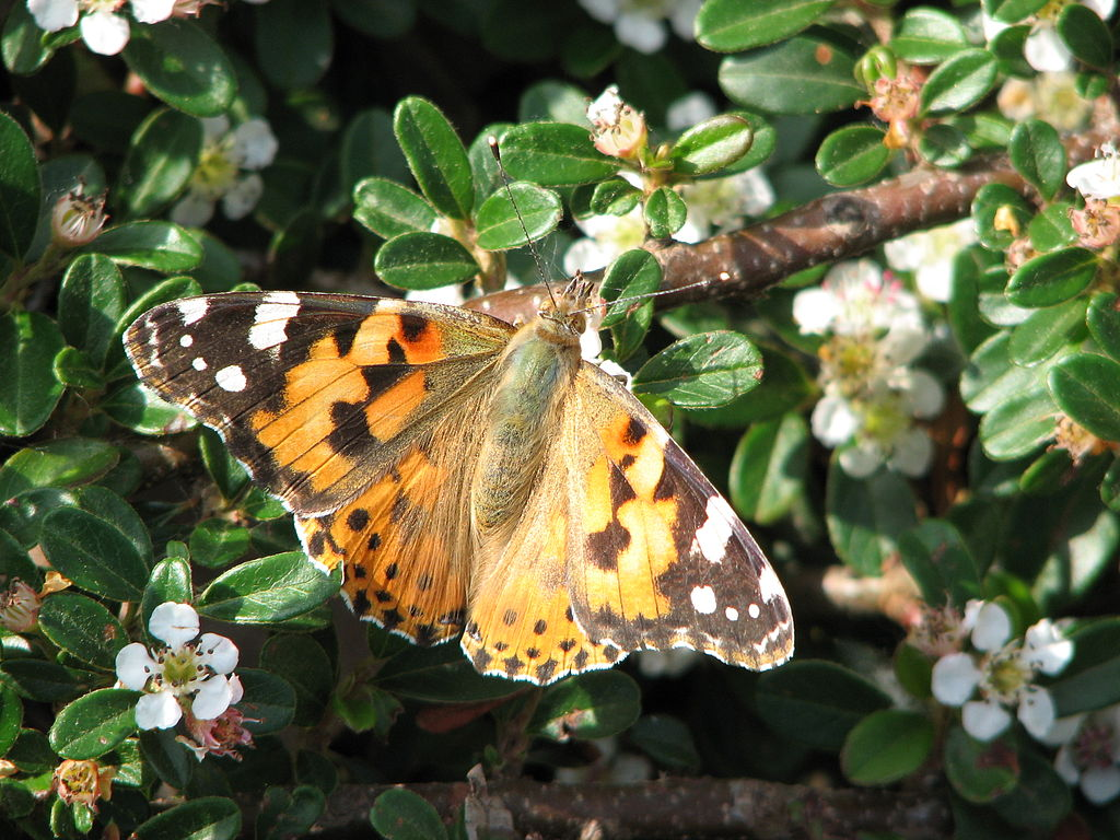 uma borboleta bela-dama