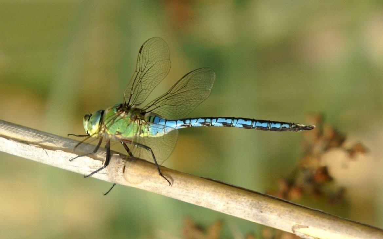 libélula imperador-azul