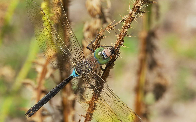 uma libélula