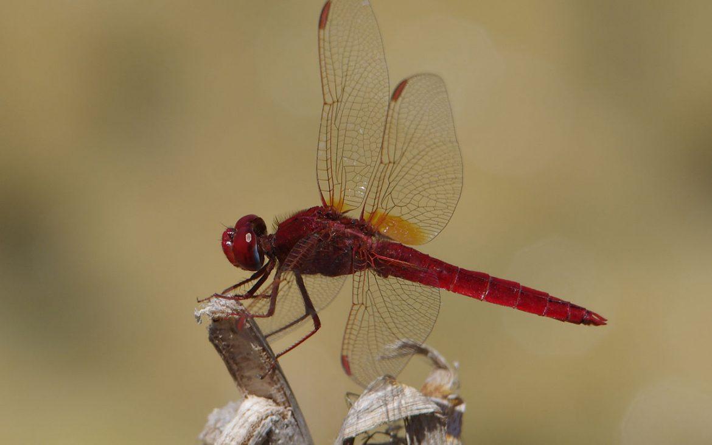 libélula escarlate