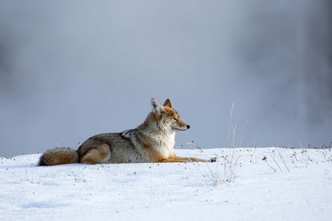 Coiote deitado na neve
