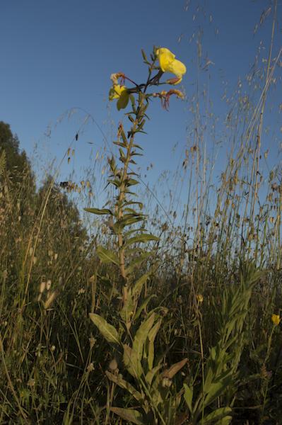 planta de flores amarelas