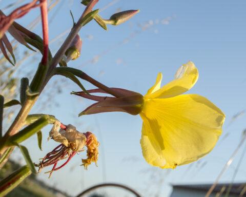 planta com flores amarelas