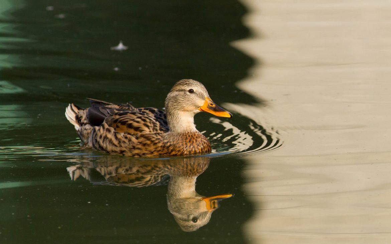 pato-real a nadar num lago