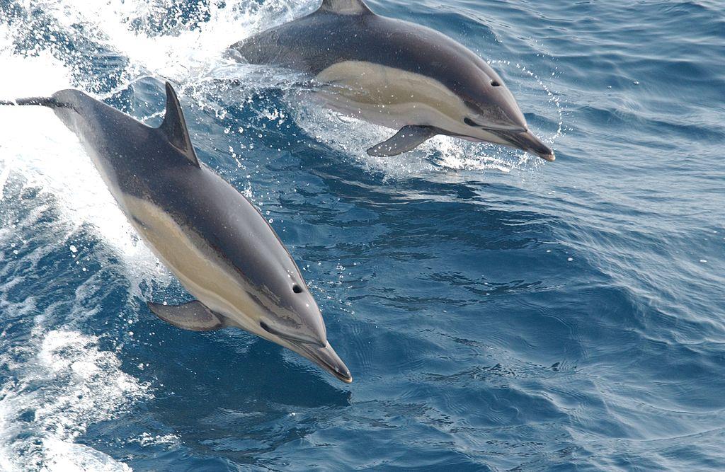 golfinho comum