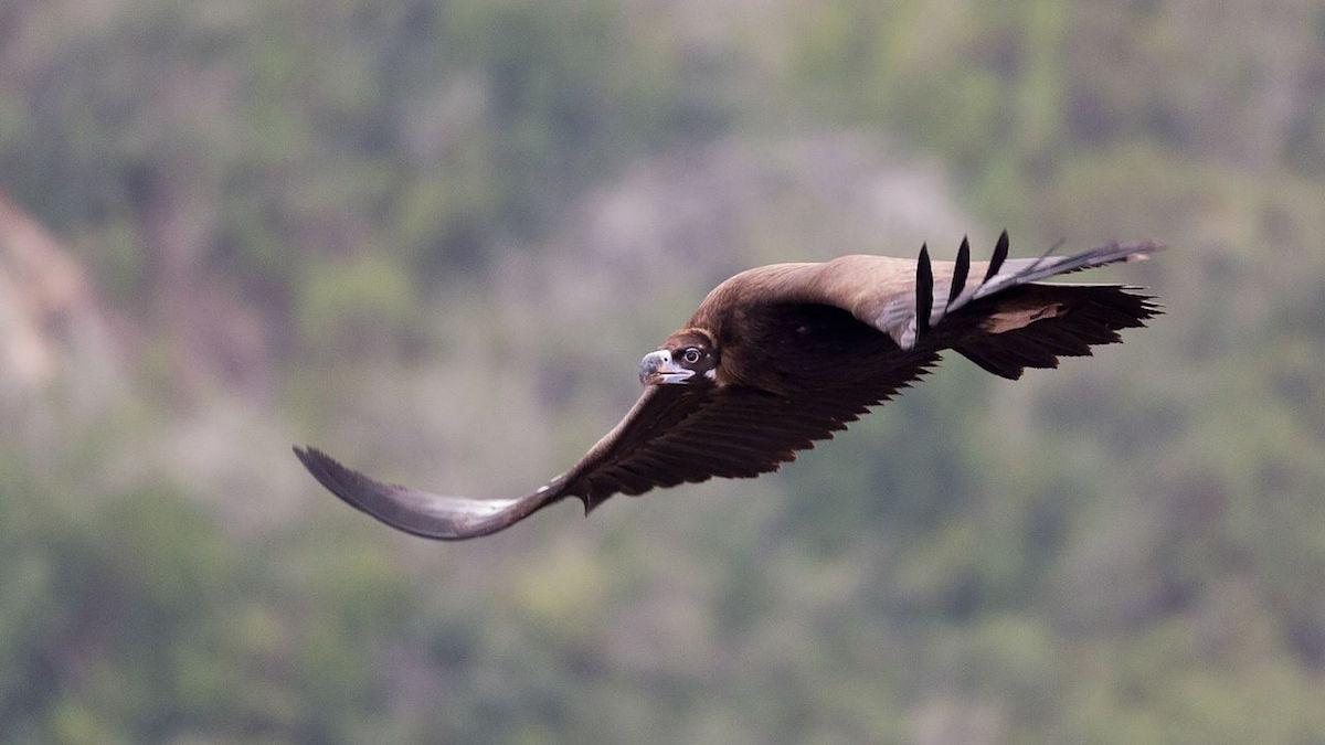 abutre em voo