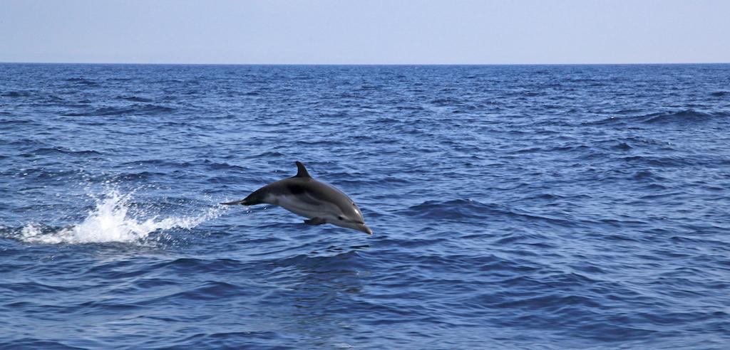 golfinho riscado a saltar no mar