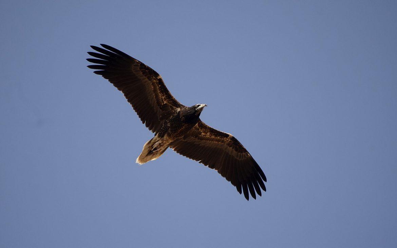 abutre do Egipto visto de baixo, em voo