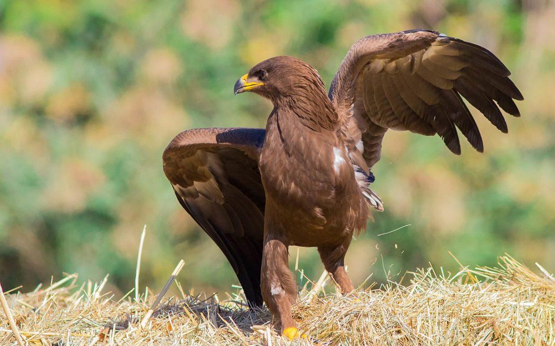 águia da pomerânia de pé no solo