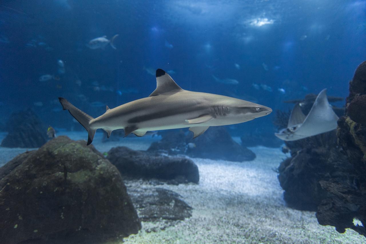 Tubarão-de-pontas-negras-do-recife no oceanário