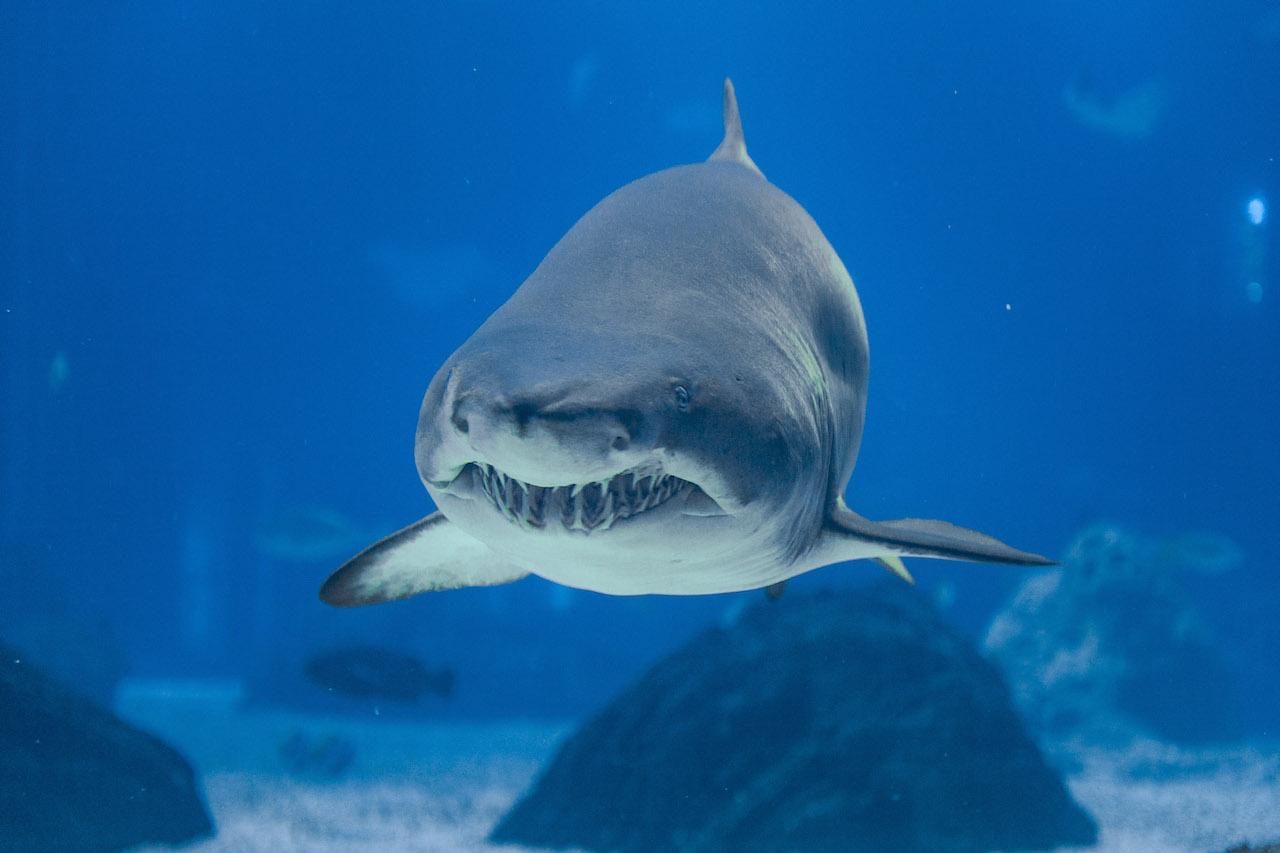 um tubarão-touro