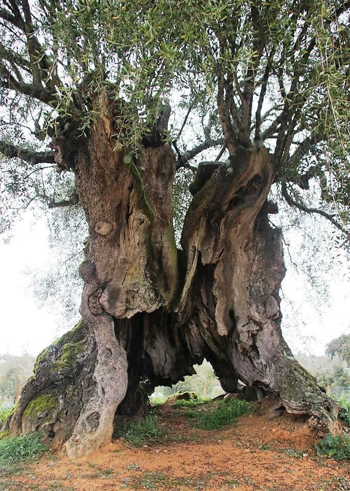 oliveira com o tronco oco