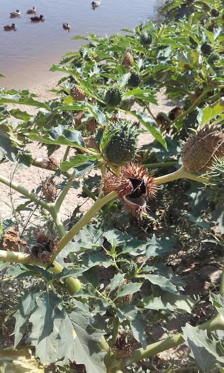 planta com frutos espinhosos