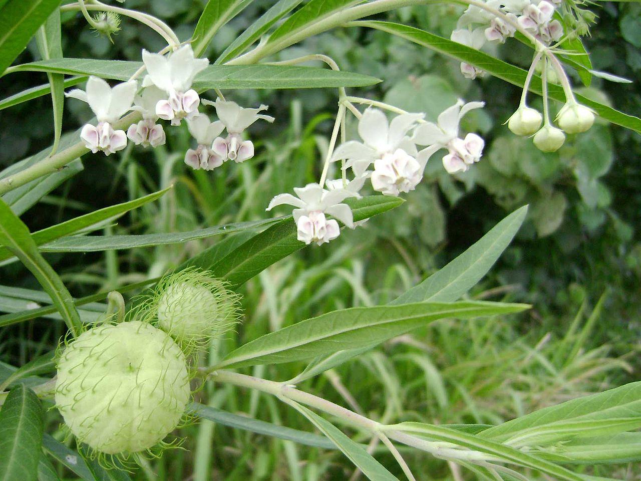 uma planta da espécie Gomphocarpus physocarpus