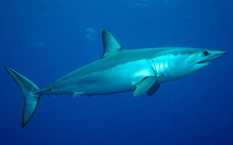 tubarão-anequim de perfil, dentro da água