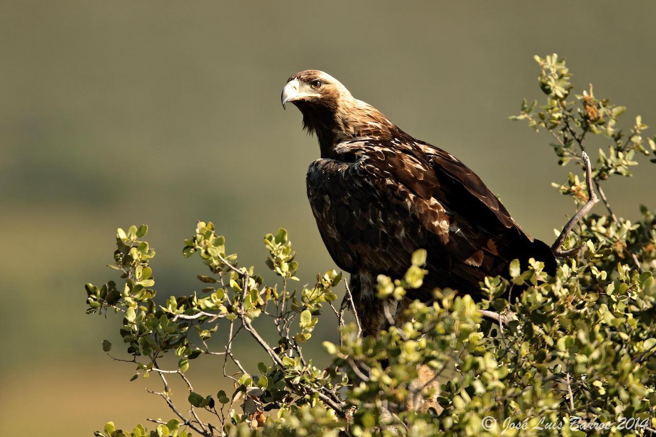 águia de perfil, pousada num ramo