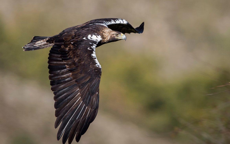 águia-imperial em voo