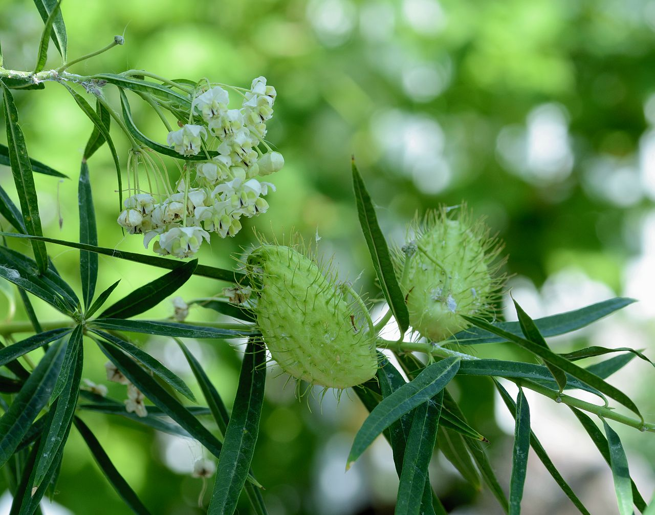 flores e frutos da sumaúma-bastarda