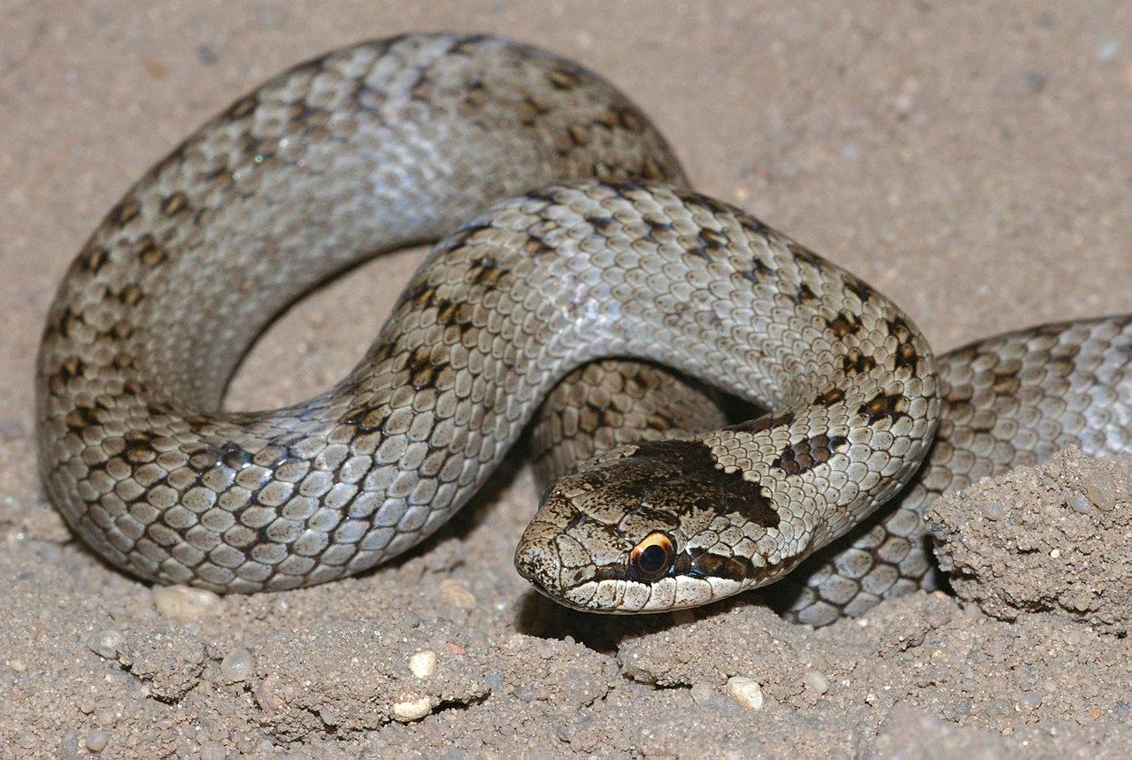 juvenil de cobra-lisa-europeia