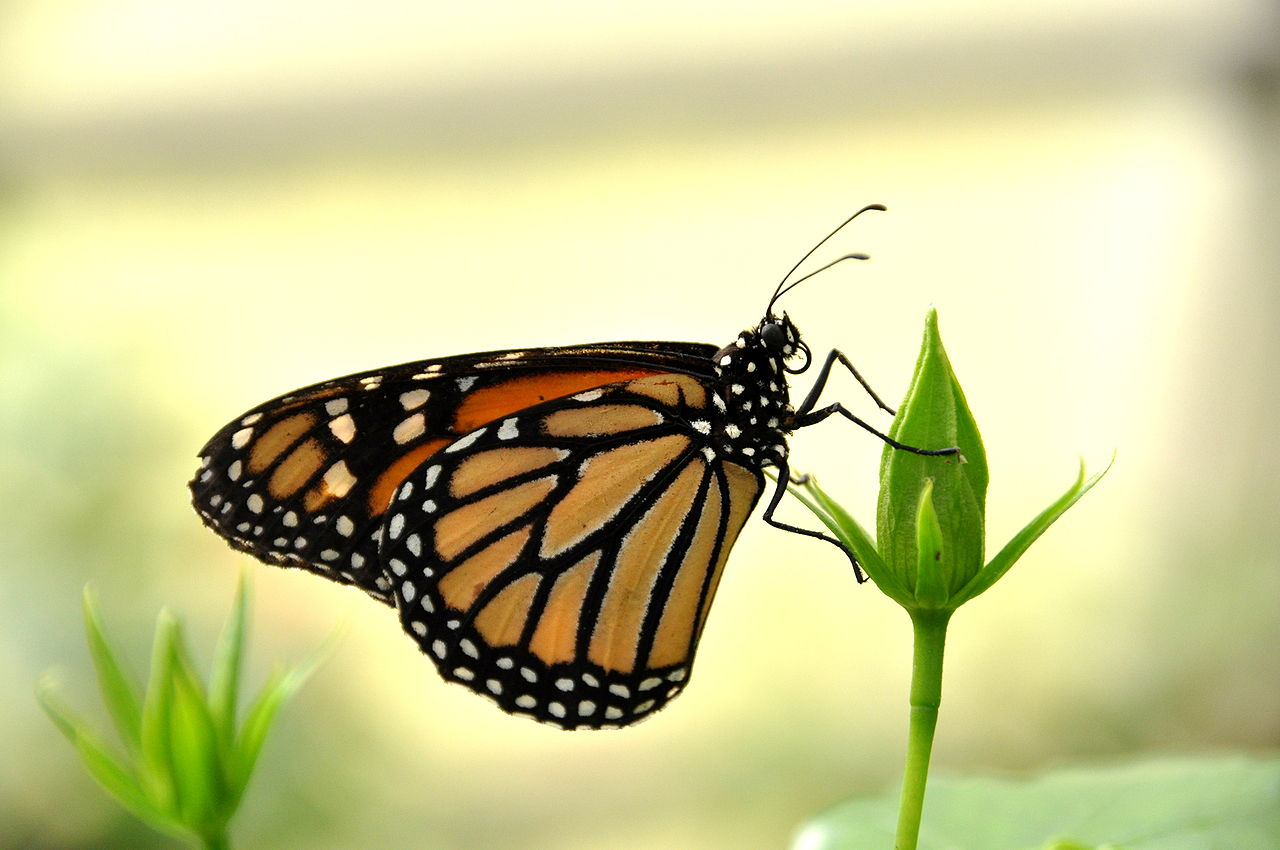 uma borboleta-monarca, de perfil