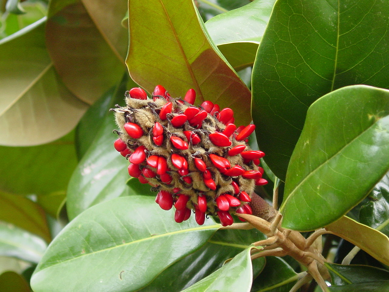 fruto com sementes vermelhas