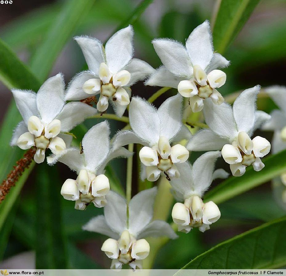 Flores da sumaúma-bastarda