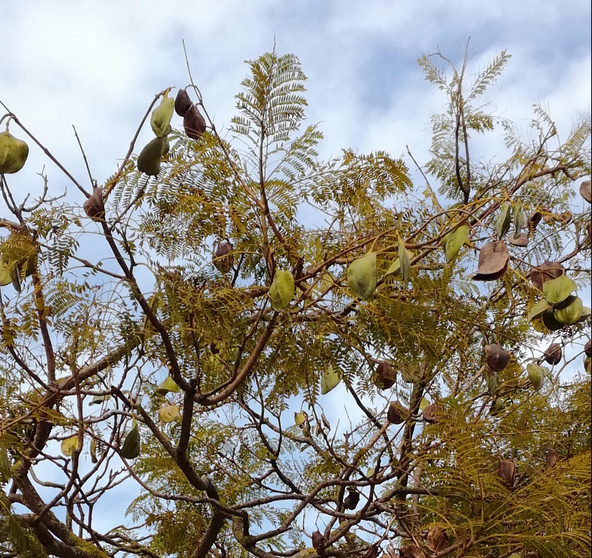 folhas e frutos de um jacarandá