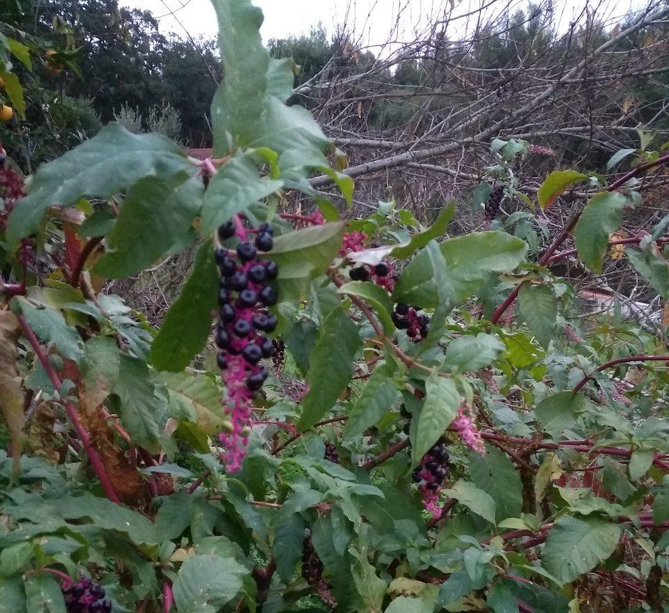 plantas com bagas roxas