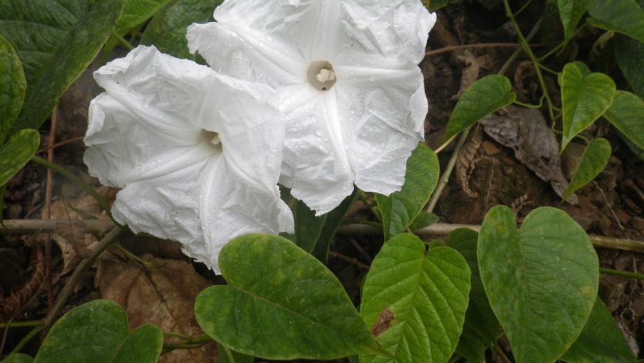 flores da Ipomoea inaccessa.