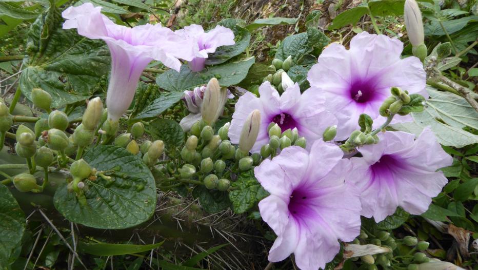 flores da Ipomoea prolifera