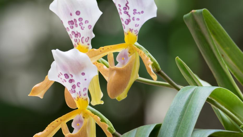 flor da Paphiopedilum papilio