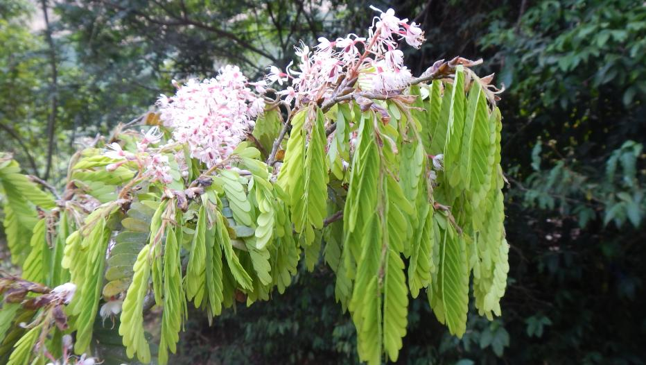 flores da Talbotiella cheekii