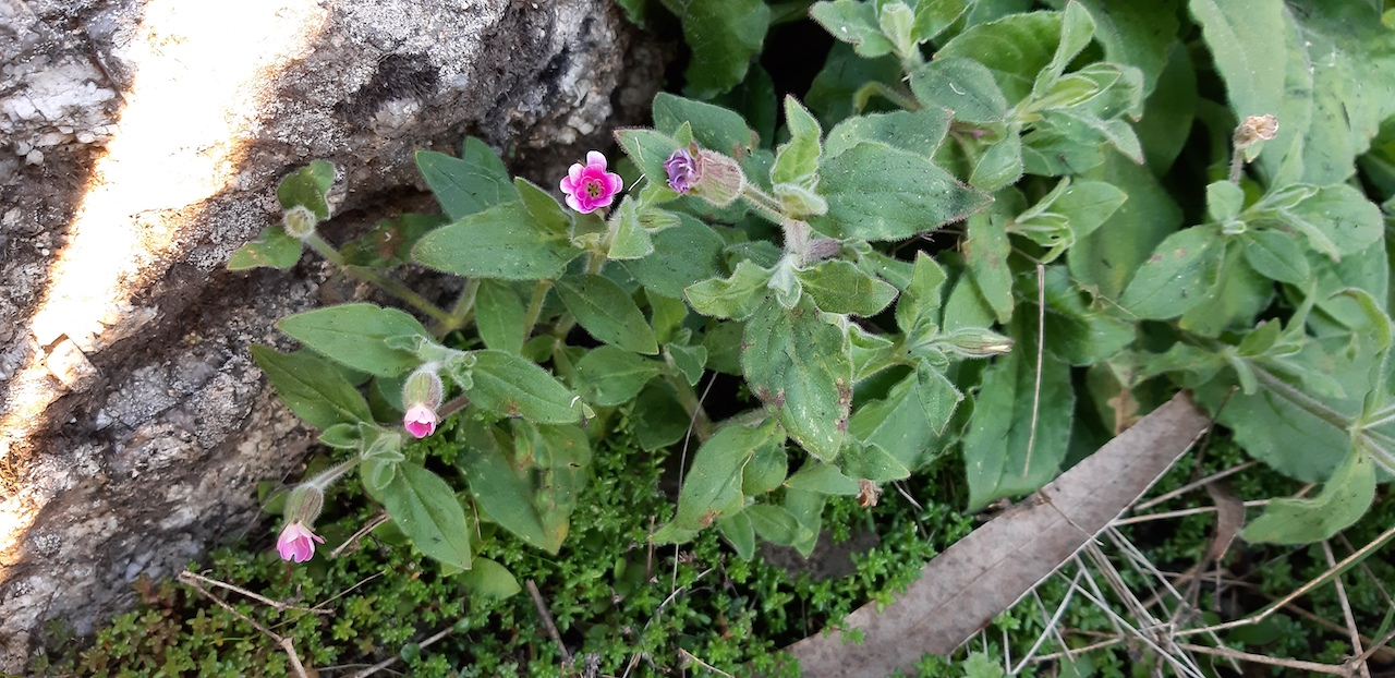 planta de flores rosa e brancas