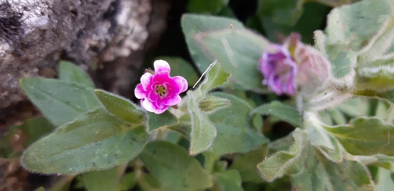 planta com flor branca e rosa