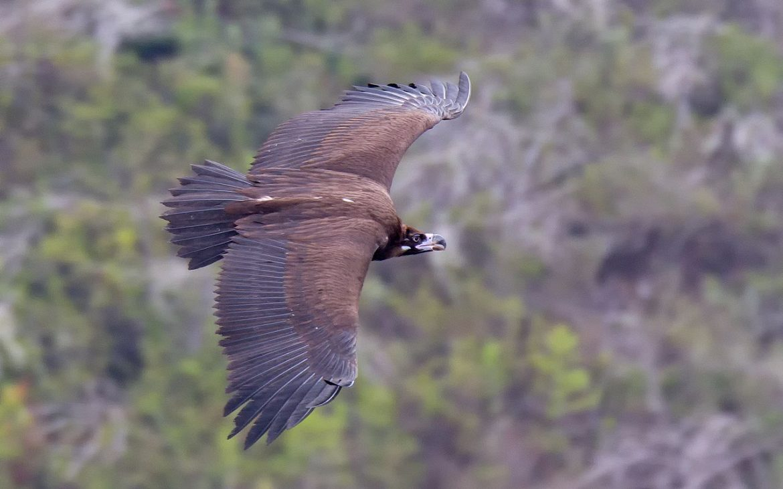 abutre-preto em voo