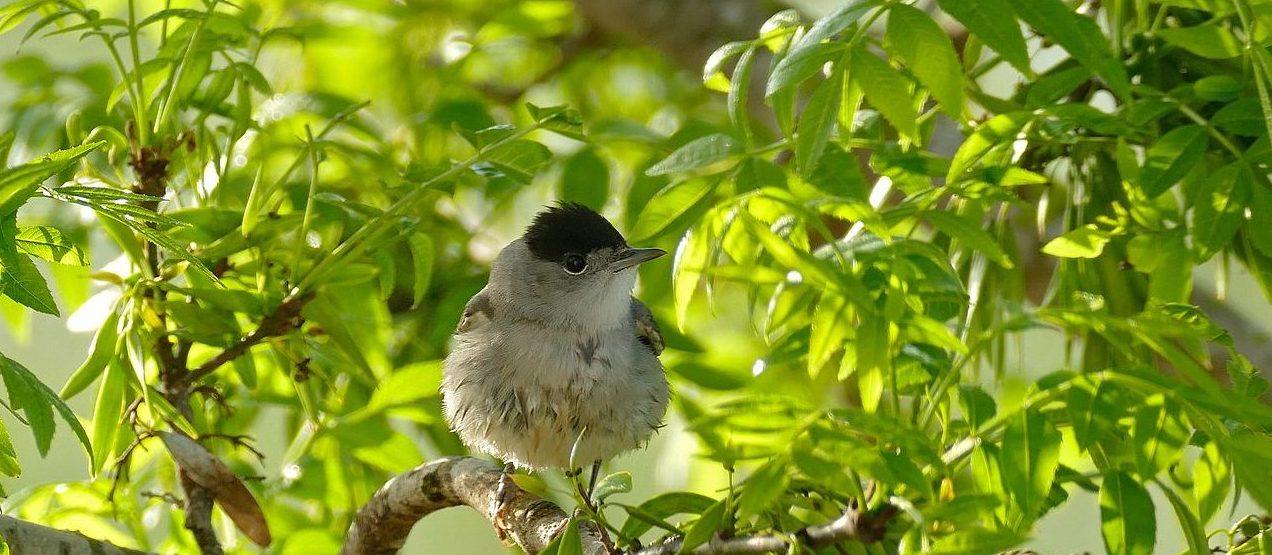 """pequena ave de """"barrete"""" preto na cabeça, pousada num ramo"""