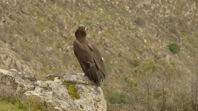 abutre-preto pousado, de perfil