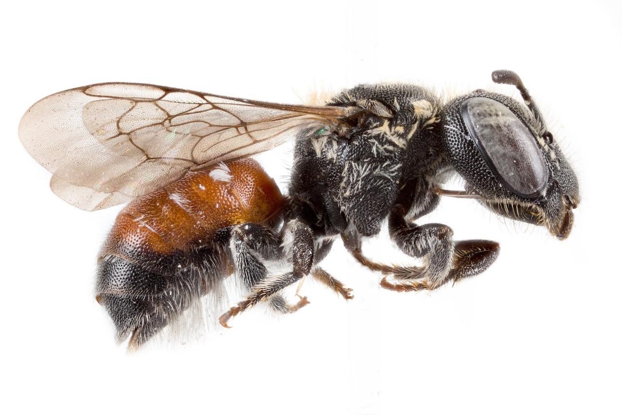 abelha da nova espécie