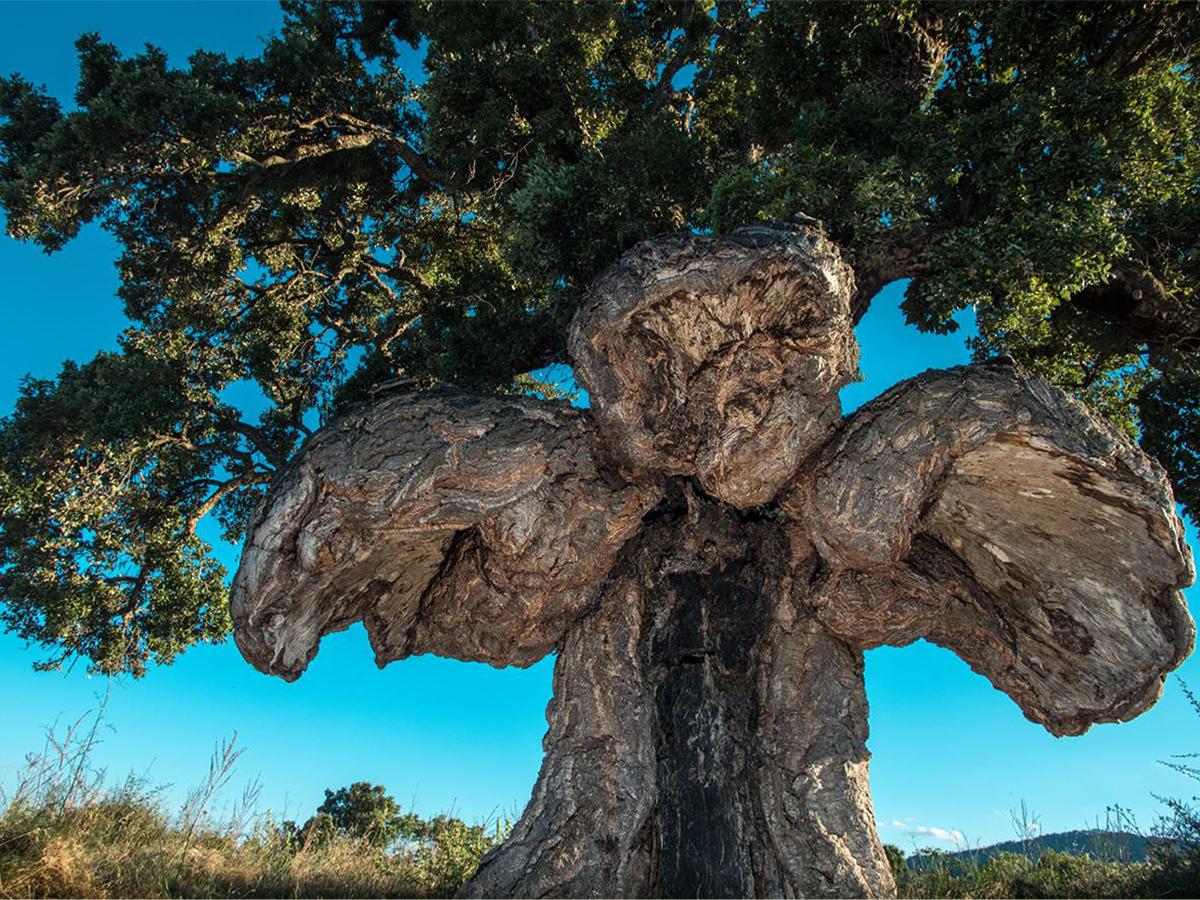 sobreiro com tronco em forma de ave de rapina