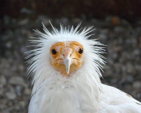 abutre do Egipto em grande plano