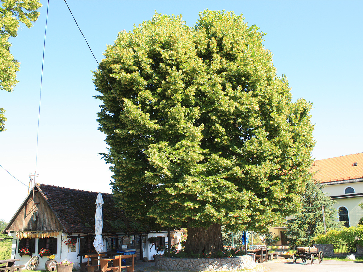 árvore tília-de-folhas-grandes