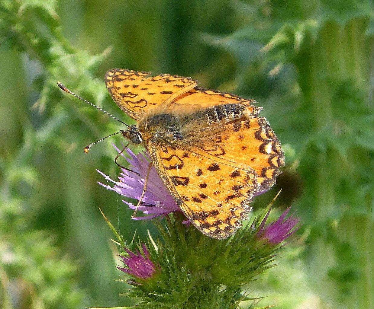 borboleta pousada num cardo