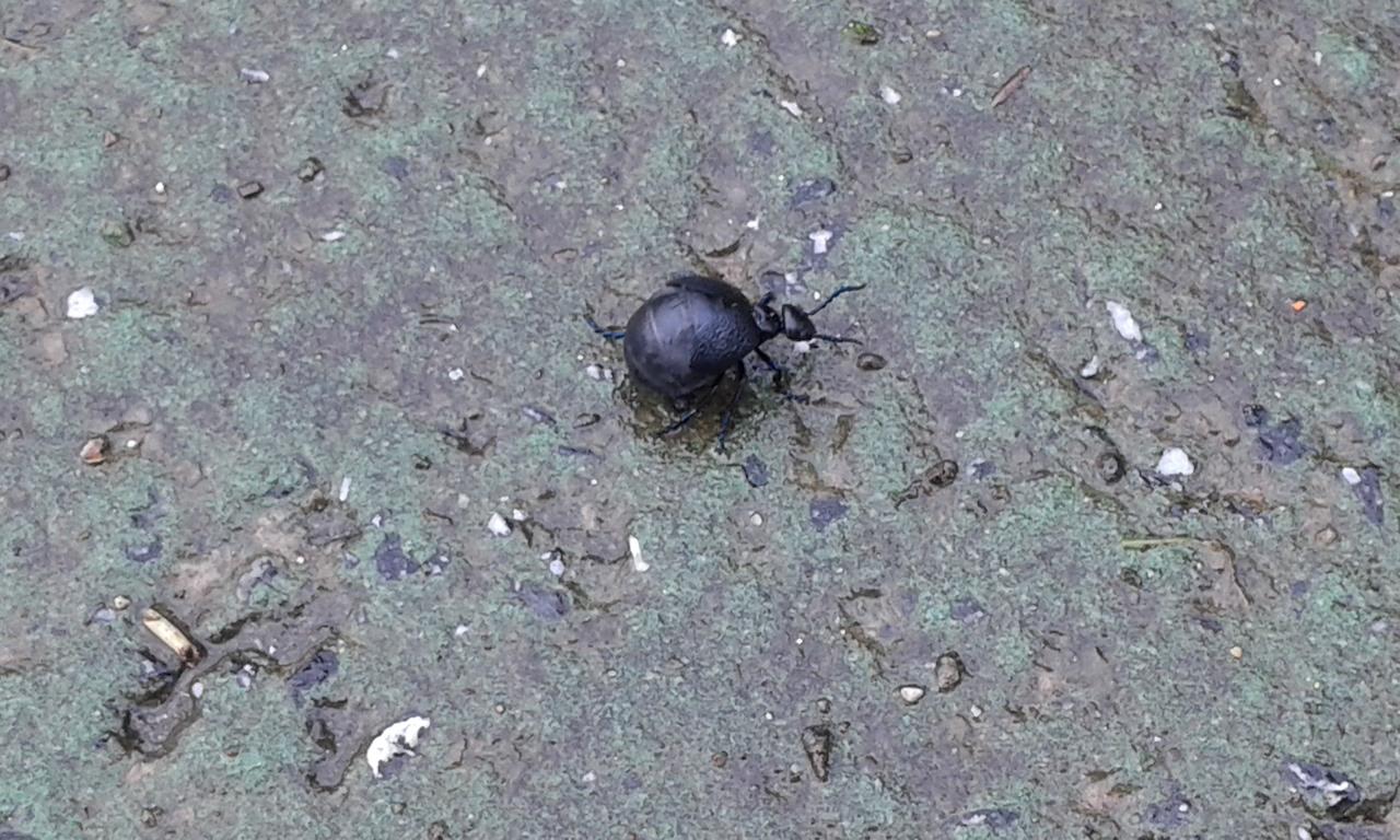 besouro preto