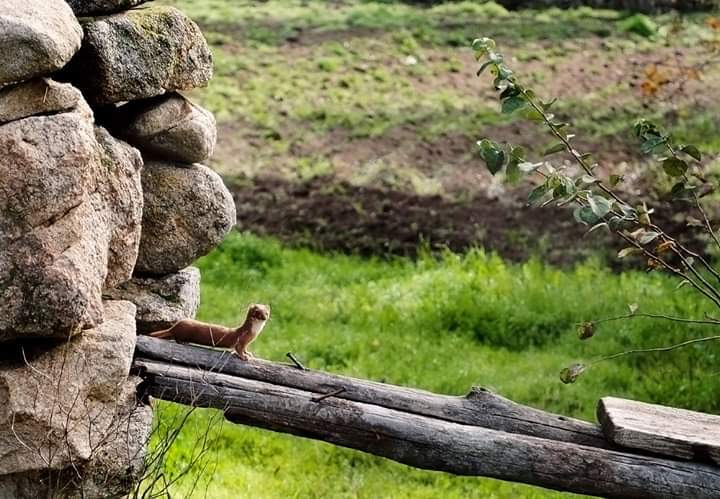 doninha em cima de um ramo