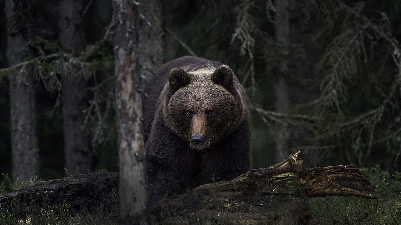 um urso-pardo numa floresta
