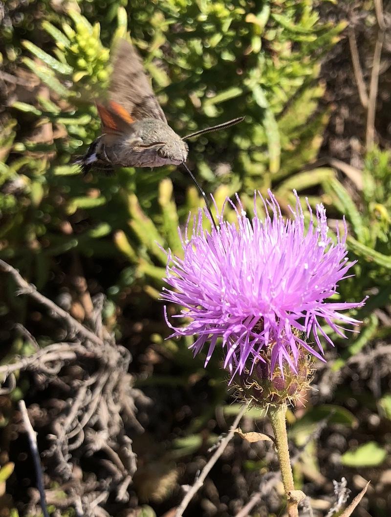 Patrícia Biscaia Traça encontrou este insecto no Verão passado no Rogil e pediu ajuda para identificar a espécie. Eva Monteiro responde.