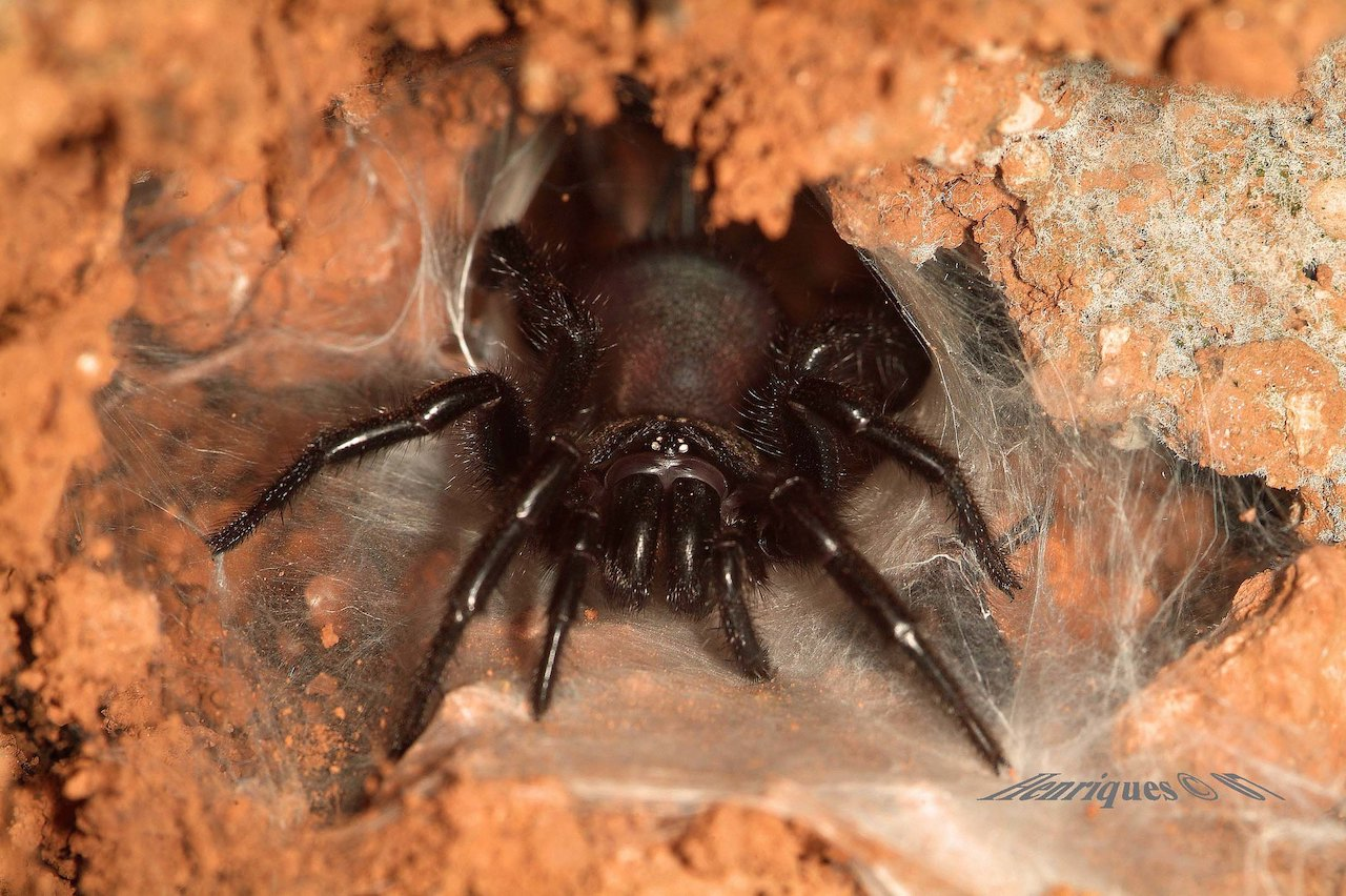 aranha preta