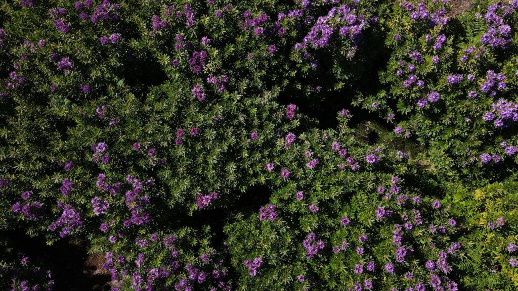 arbustos com loendros vistos de cima